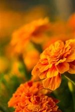 iPhone fondos de pantalla Flores naranjas, caléndulas