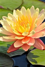 Orange petals water lily, flower, leaves, pond