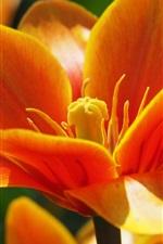 iPhone fondos de pantalla Fotografía macro tulipán naranja, pétalos