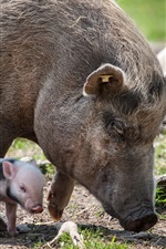 Preview iPhone wallpaper Pig mother and little pig