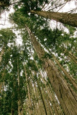 Pine trees, forest, from bottom view