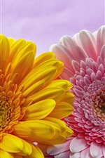 Preview iPhone wallpaper Pink and yellow gerbera flowers
