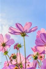 iPhone fondos de pantalla Flores rosadas del cosmos, verano, cielo azul