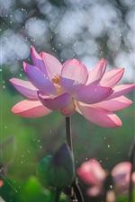 Pink lotus flowering, rain, summer