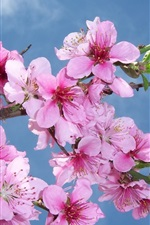Preview iPhone wallpaper Pink peach flowers bloom, spring, blue sky