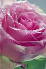 Preview iPhone wallpaper Pink rose, flower, water drops