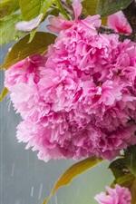 Preview iPhone wallpaper Pink sakura flowering, rain