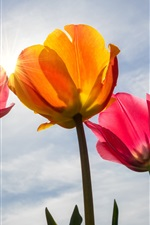 Preview iPhone wallpaper Pink tulips, petals, sky, sun rays