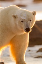 Preview iPhone wallpaper Polar bear look, snow, sunshine