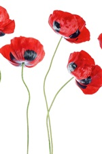 Preview iPhone wallpaper Poppy flowers, red and black petals, white background