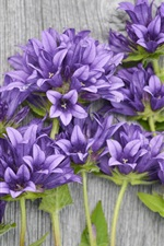 Preview iPhone wallpaper Purple flowers, wood background