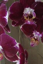 Orquídea roxa, flores