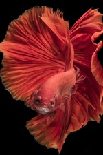 Preview iPhone wallpaper Red fish, beautiful tail, black background