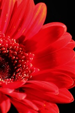 Preview iPhone wallpaper Red gerbera flower, black background