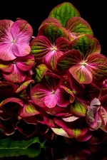 Preview iPhone wallpaper Red hydrangea, reflection, black background