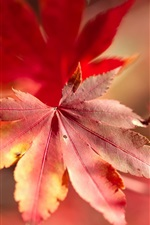 Preview iPhone wallpaper Red maple leaf macro photography, bokeh, autumn