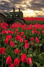 Preview iPhone wallpaper Red tulips fields, morning, sunrise, tractor, Oregon, USA
