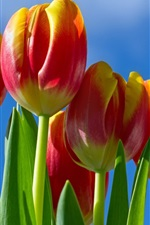 Preview iPhone wallpaper Red-yellow petals tulips flowers, blue sky