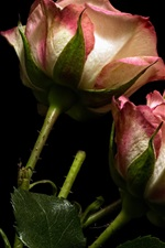 Preview iPhone wallpaper Roses, pink and white petals, black background