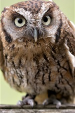 Preview iPhone wallpaper Scops owl