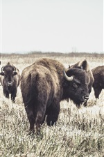 Preview iPhone wallpaper Some buffaloes, grass