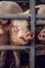 Preview iPhone wallpaper Some pigs, fence