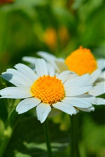 Preview iPhone wallpaper Spring, daisy, white petals