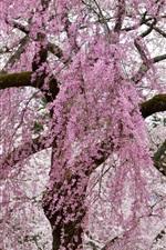Spring, pink tree flowers flowering