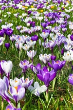 Preview iPhone wallpaper Spring, purple and white flowers, crocuses