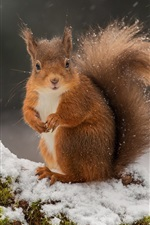 Preview iPhone wallpaper Squirrel in the winter, snow, moss