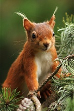 Preview iPhone wallpaper Squirrel, pine twigs