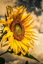 Preview iPhone wallpaper Sunflower, clouds, dusk