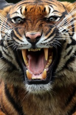 Preview iPhone wallpaper Tiger, fangs, face, mouth, predator