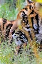 Preview iPhone wallpaper Tiger hidden in the grass