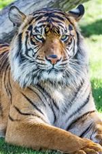 Resto de tigre, grama, sol
