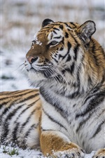 Preview iPhone wallpaper Tiger rest in the winter, snow, look side