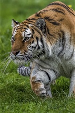 Preview iPhone wallpaper Tiger walking in grass, sneaks