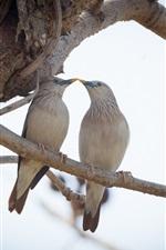 Two birds, Siberian Starling