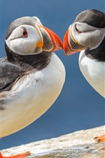 Preview iPhone wallpaper Two birds, couple, skua