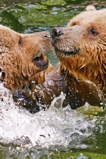 Preview iPhone wallpaper Two brown bears play in water, splash