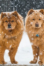 Two dogs, winter, snowy