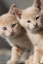 Preview iPhone wallpaper Two kittens, twins