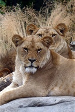 Preview iPhone wallpaper Two lioness, rest, reeds