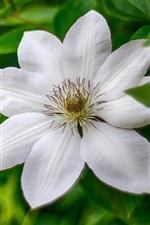 iPhone壁紙のプレビュー 白クレマチス、花マクロ写真、花びら