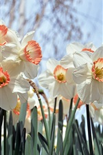 Preview iPhone wallpaper White daffodils flowering, spring