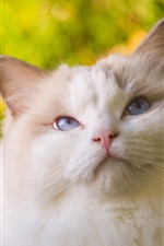 Preview iPhone wallpaper White furry cat look up, blue eyes