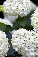 Preview iPhone wallpaper White hydrangea flowers