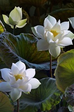 Preview iPhone wallpaper White lotus, beautiful flowers, green leaves
