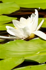 Preview iPhone wallpaper White lotus, green leaves, frog, pond