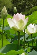 Preview iPhone wallpaper White lotus, green leaves